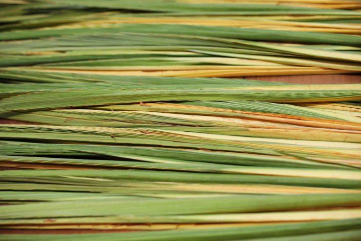 Sukkot - Palm Branch - Lelav